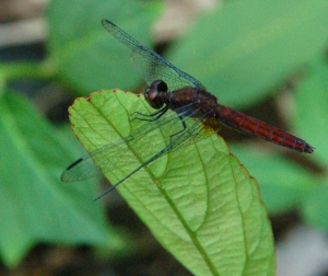 Red dragonfly on leaf at Brillo Nuevo. Photo by Campbell Plowden/Center for Amazon Community Ecology