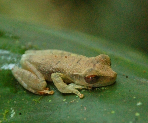 Green frog on leaf at Brillo Nuevo. Photo by Campbell Plowden/Center for Amazon Community Ecology