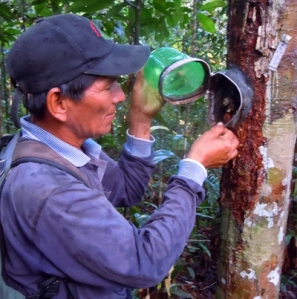CACE field assistant Italo Melendez checking weevil trap on copal tree. Photo by Campbell Plowden/Center for Amazon Community Ecology