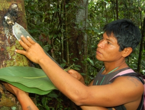 Amazon native harvesting copal resin. Photo by Campbell Plowden/Center for Amazon Community Ecology
