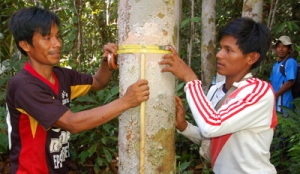 Bora men measuring copal tree diameter. Photo by Campbell Plowden/Center for Amazon Community Ecology