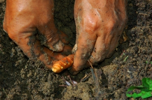 Planting guisador root. Photo by Campbell Plowden/Center for Amazon Community Ecology