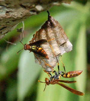 Wasps on nest under branch at Brillo Nuevo. Photo by Campbell Plowden/Center for Amazon Community Ecology