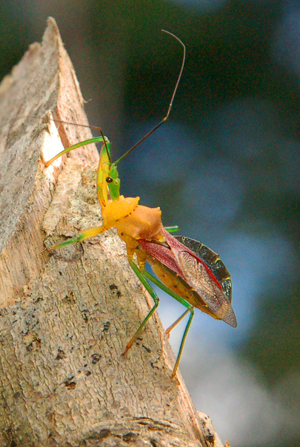 Yellow and green beetle at Brillo Nuevo. Photo by Campbell Plowden/Center for Amazon Community Ecology