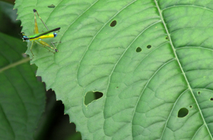 Yellow and green grasshopper at Brillo Nuevo, Peru. Photo by Center for Amazon Community Ecology