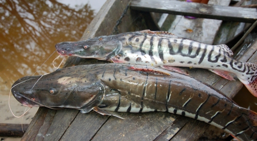 Doncella catfish caught in the Tahuayo River. Photo by Campbell Plowden/Center for Amazon Community Ecology
