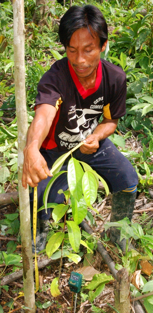 Bora man measuring rosewood seedling at Brillo Nuevo. Photo by Campbell Plowden/Center for Amazon Community Ecology
