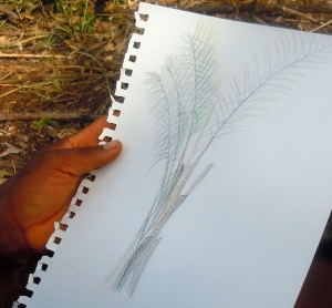 Felix Flores sketch of chambira palm. Photo by Campbell Plowden/Center for Amazon Community Ecology
