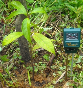 Measuring soil humidity near rosewood seedling at Brillo Nuevo. Photo by Campbell Plowden/Center for Amazon Community Ecology