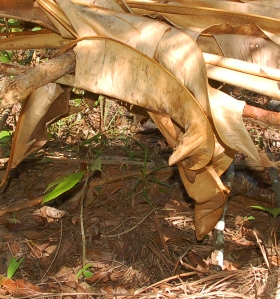 Rosewood seedling under canopy at RECOVER. Photo by Campbell Plowden/Center for Amazon Community Ecology