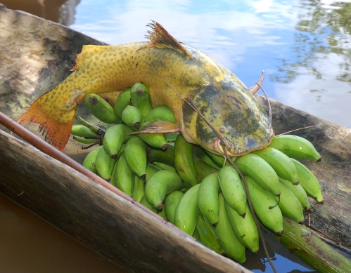 Yellow catfish and bananas on canoe. Photo by Campbell Plowden/Center for Amazon Community Ecology