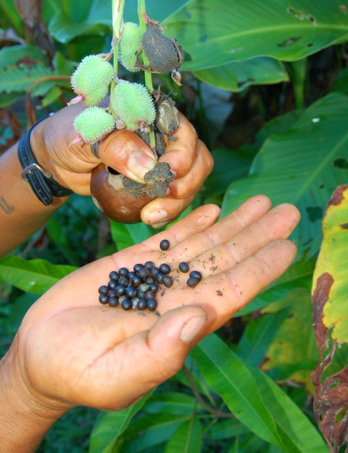 Achira (Canna indica) plant, pods, and seeds. Photo by Campbell Plowden/Center for Amazon Community Ecology