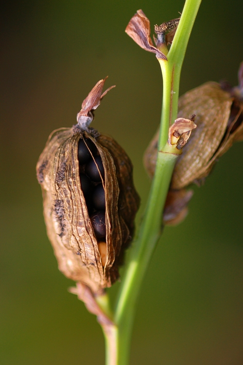 Achira (Canna indica) seed pod. Photo by Campbell Plowden/Center for Amazon Community Ecology