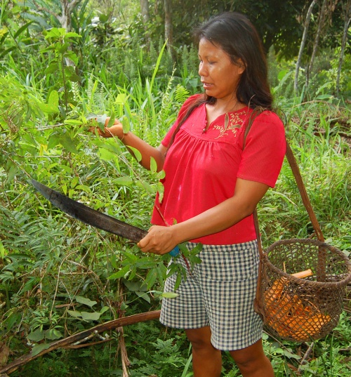 Bora artisan harvesting sisa (Arrabidaea spp.) leaves.  Photo by Campbell Plowden/Center for Amazon Community Ecology