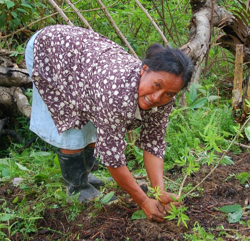 Bora artisan planting sisa (Arrabidaea spp.) leaves.  Photo by Campbell Plowden/Center for Amazon Community Ecology
