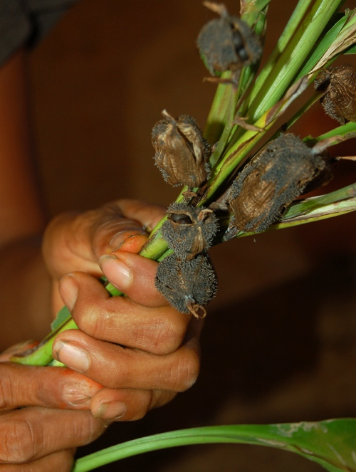 Holding achira seed (Canna indiaca) pods. Photo by Campbell Plowden/Center for Amazon Community Ecology