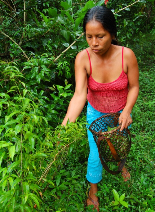 Murui artisan harvesting sisa (Arrabidaea spp.) leaves.  Photo by Campbell Plowden/Center for Amazon Community Ecology