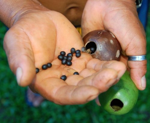 Pouring achira (Canna indica) seeds into calabash ornament.  Photo by Campbell Plowden/Center for Amazon Community Ecology