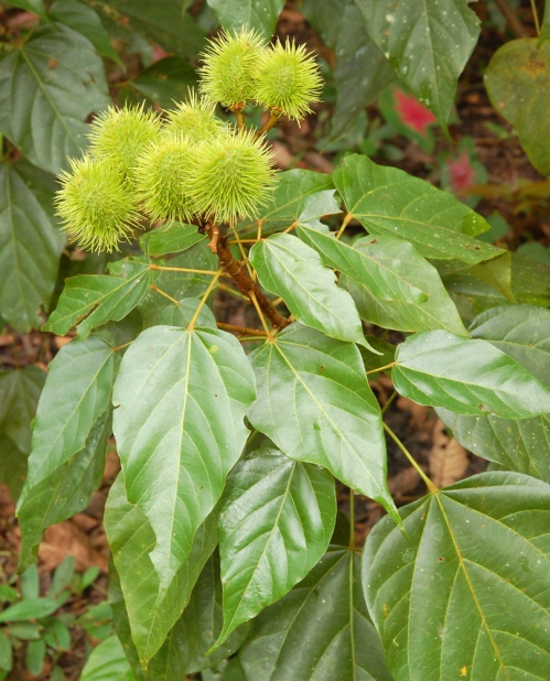 Immature achiote pods in native artisan field. © Photo by Campbell Plowden/Center for Amazon Community Ecology