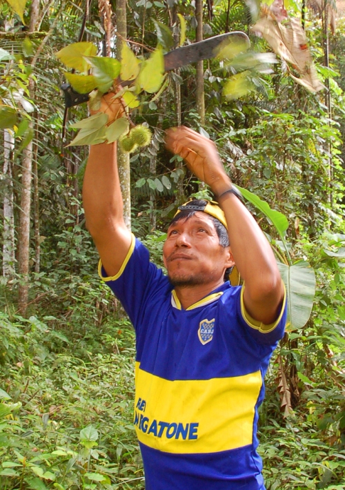 Artisan harvesting achiote pods. © Photo by Campbell Plowden/Center for Amazon Community Ecology