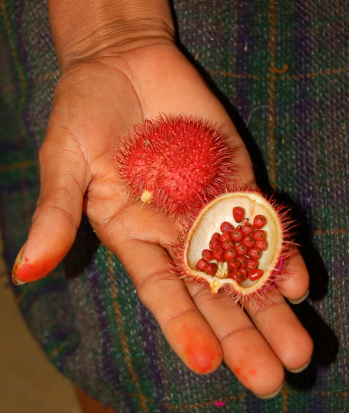Artisan holding achiote open seed pod in her hand. © Photo by Campbell Plowden/Center for Amazon Community Ecology