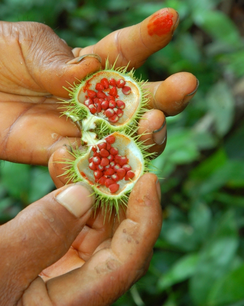 Artisan holding achiote open seed pod with red finger. © Photo by Campbell Plowden/Center for Amazon Community Ecology