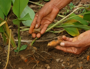 Campesino artisan harvesting guisador roots at Jenaro Herrera. Photo by Campbell Plowden/Center for Amazon Community Ecology
