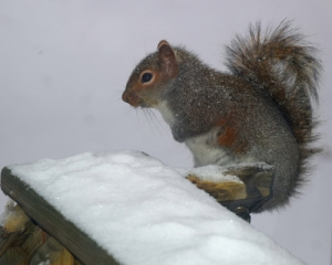 Squirrel on snowy porch in Pennsylvania. Photo by Campbell Plowden