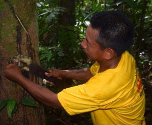 Maijuna harvesting copal at Nueva Vida.  Photo by Campbell Plowden/Center for Amazon Community Ecology