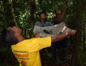Maijuna harvesting copal with machete lashed to pole. Photo by Campbell Plowden/Center for Amazon Community Ecology