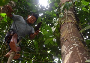Maijuna tossing copal lump down.  Photo by Campbell Plowden/Center for Amazon Community Ecology