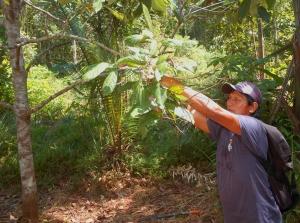 Juan harvesting rosewood branch