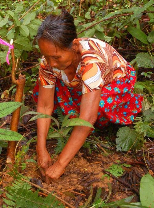 Raquel Lopez planting chambira seedling