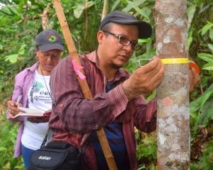 Tulio measuring rosewood tree diameter