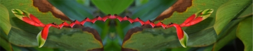 Heliconia flower montage at Brillo Nuevo. Photo by Campbell Plowden/CACE