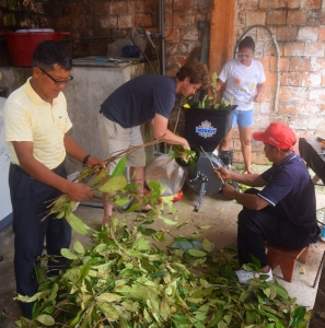 Feediing rosewood leaves into shredder for distillation. Photo by Campbell Plowden/Center for Amazon Community Ecology