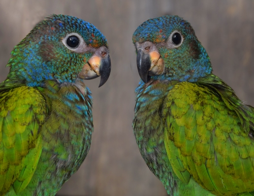 Blue headed parrot (double-image) at Chino. Photo by Campbell Plowden/CACE