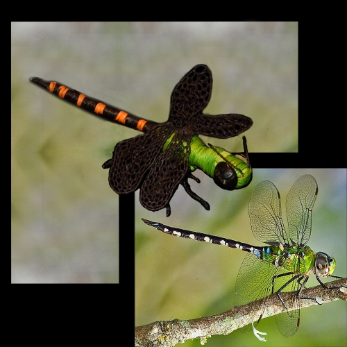 Amazon darner dragonfly and ornament. Photo by Campbell Plowden/Center for Amazon Community Ecology